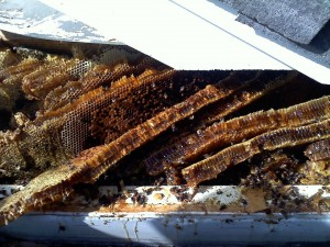 Beehive Removal at Waterford HOA