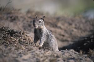 California_Ground_Squirrel_and_burrow